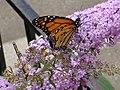Monarch (Danaus plexippus) (6000421251).jpg
