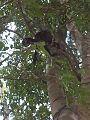 Mono en parque cachamay.jpg