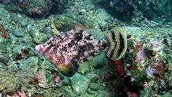 meaning of filefish
