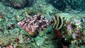 Filefish - This fan-bellied leatherjacket, Monacanthus chinensis, was photographed in nearshore water, northeast coast of Taiwan