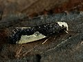 Monopis monachella - Моль белополосая (39436940710).jpg