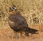Montagu's harrier (Circus pygargus) grounded.jpg