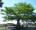 Moore Haven FL Lone Cypress pano01.jpg