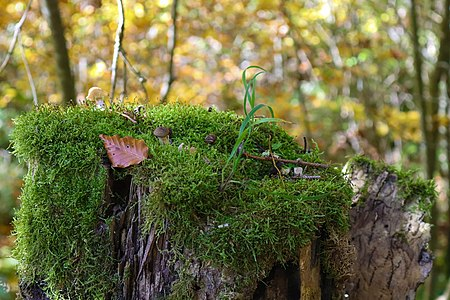Moosbewachsener Baumstumpf mit Pilzen