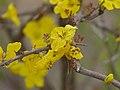 Mopane Yellowthorn (Rhigozum zambesiacum) (11588350103).jpg