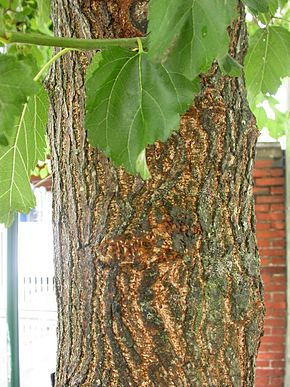 Description de l'image  Image:Morus alba bark.jpg .