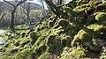 Moss near HarlechP1040796.jpg