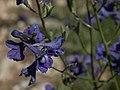 Mountain marsh larkspur, Delphinium polycladon (39574182602).jpg
