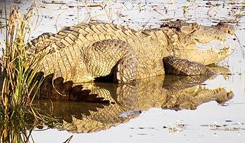 Mugger Crocodile.jpg