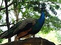 Multicolour peacock.jpg