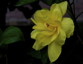 Multilayer Yellow Hibiscus.png
