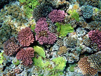 The color of corals depends on the combination of brown shades provided by their zooxanthellae and pigmented proteins (reds, blues, greens, etc.) produced by the corals themselves. Multy color corals.JPG
