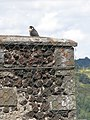 Murol castle (falcon on chimney).jpg