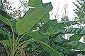Musa acuminata - banana trees (Watling's Well Banana Hole, San Salvador Island, Bahamas) 2 (15805691884).jpg