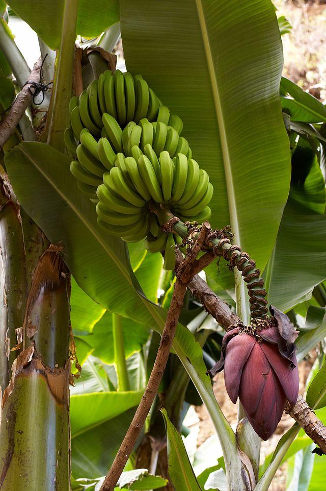 Musa acuminata planta banana platano