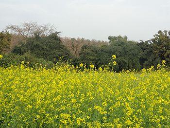Mustard flower farm.jpg