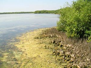 Point Calimere - Mangrove forest at Muthupet