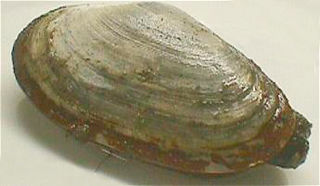 Soft-shell clam species of mollusc