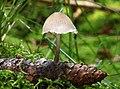 Mycena-strobilicola.jpg