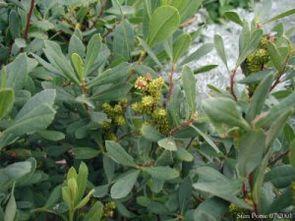 Gagelstrauch (Myrica gale), weibliche Pflanze mit unreifen Früchten.