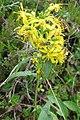 Mystery plant (Heiterwanger See) (15618961120).jpg