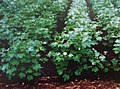 Narasimha-cotton-plant-in-early-stages.jpg