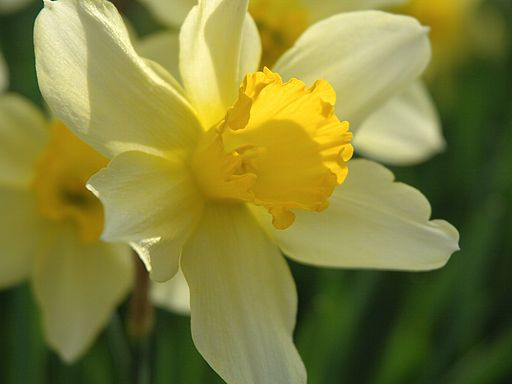 Narcissus 2005 spring 004