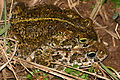 Natterjack Toads (Epidalea calamita) mating (16616634228).jpg