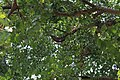 Natural Beehive and Honeycombs in the hollow of Peepal Tree1.jpg