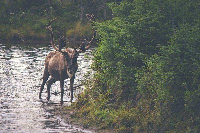 File:Nature-animal-river-deer (24031271090).jpg