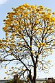 Nature tree connaught place.jpg