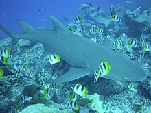 A sicklefin lemon shark over a coral reef, surrounded by smaller, colorful butterfly fish