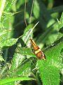Nemophora degeerella (Longhorn Moth), Elst (Gld), the Netherlands.jpg