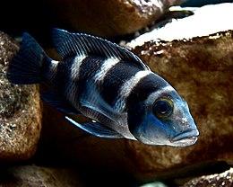 Neolamprologus tretocephalus.jpg