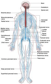 200px-Nervous_system_diagram.png