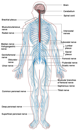 A diagram of the Human Nervous system.