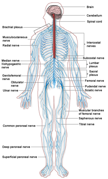 File:Nervous system diagram.png