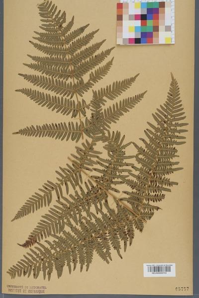 File:Neuchâtel Herbarium - Pteridium aquilinum - NEU000000743.tiff