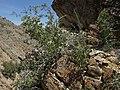 Nevada ninebark, Physocarpus alternans (32910492798).jpg
