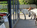 New Forest Ponys at Beaulieu Garage.JPG