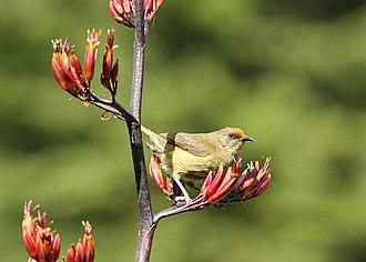 New Zealand bellbird - Image: New Zealand Bellbird