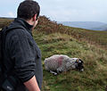 Nick schofield observes a sheep.jpg