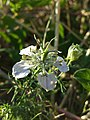 Nigella arvensis sl49.jpg