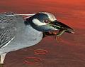 Night Heron and Crab Up Close.jpg