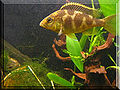 Nimbochromis venustus 2957040854.jpg