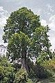 Nizza Ffm Sequoia.jpg