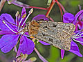 Noctuidae-Chersotis rectangula.jpg