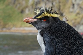 Northern Rockhopper Penguin on Inaccessible Island (portrait).jpg
