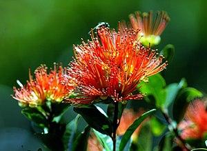 Metrosideros robusta - Rātā flowers at Mt Maungatautari
