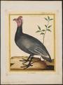 Numida meleagris - 1700-1880 - Print - Iconographia Zoologica - Special Collections University of Amsterdam - UBA01 IZ16900332.tif